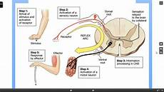 Spinal Cord Reflexes Reflex Arc Nervous System Anatomy Nursing Study Guide