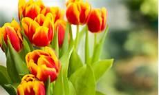 tulipani fiori significato dei fiori i tulipani quale colore scegliere