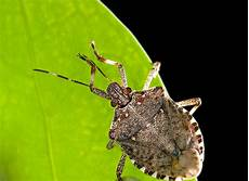Brown Marmorated Stink Bug Brown Marmorated Stink Bug Challenges Pest Control
