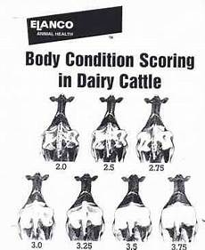 Dairy Cow Chart Charts For Welfare Assessment Of Holstein Dairy Cows For