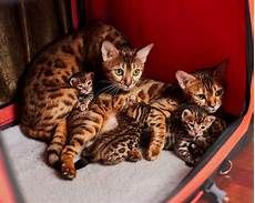 Bengal Cat Size Chart How Many Kittens Do Bengal Cats Have 2019