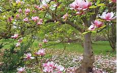 magnolia flowers wallpaper for iphone magnolia hd wallpaper background image 2560x1600 id