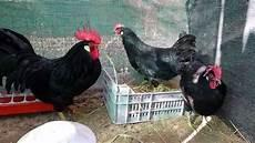 galline da cortile livorno nera