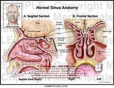 Sinus Anatomy Normal Sinus Anatomy Medivisuals Medical Illustration