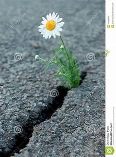 fiori tra l asfalto fiore fotografia stock immagine di bianco asfalto