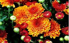 x flower wallpaper fall mums colored flowers from the garden with a beautiful