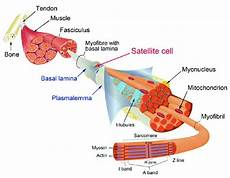 Skeletal Muscle Structure Muscle Structure And The Satellite Cell Niche The