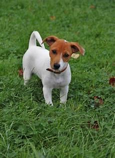 lille hund gratis billeder hundehvalp hvirveldyr hunderace hund