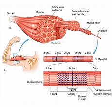 Skeletal Muscle Structure Muscle Structure Carlson Stock Art