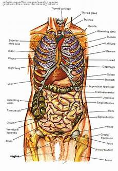 Full Body Anatomy Chart Diagram Of Human Body Organs Picture Of Body Organs
