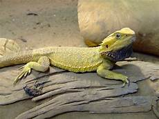Bearded Dragon Color Chart Bearded Dragon Colors Wallpapers Gallery