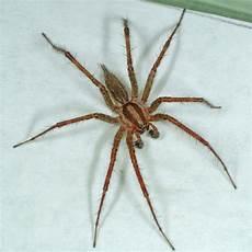 Oklahoma Spiders Identification Chart Agelenopsis Spp 11 Jpg 1010 215 1010 Spider Identification