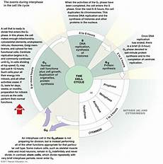 Interphase Chart 4 Best Images Of Chart Of The Cell Cycle And Labeled