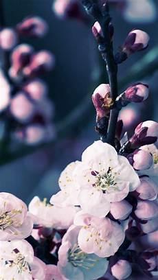 iphone wallpaper hd cherry blossom 47 cherry blossoms iphone wallpaper on wallpapersafari