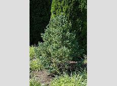 Blue Tear Drop Black Spruce (Picea mariana 'Blue Tear Drop