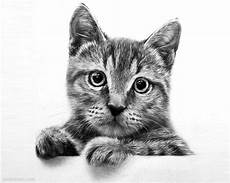 Cat Drawing Images 30 Beautiful Cat Drawings Best Color Pencil Drawings And