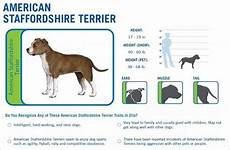 Staffordshire Bull Terrier Weight Chart Wisdom Panel Pet Testing Reviews Dna Testing Choice