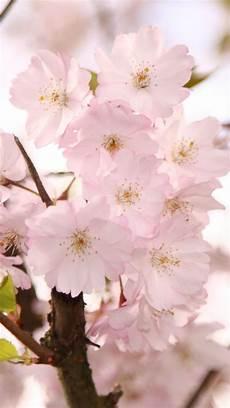 iphone wallpaper hd cherry blossom cherry blossom iphone hd wallpaper wallpaper wiki
