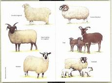 Sheep Keeping The Chart Includes My Darling Little