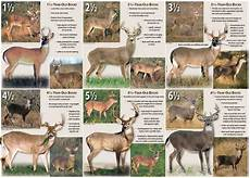 Deer Antler Age Chart Help With Aging A Deer On The Hoof Tigerdroppings Com