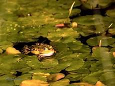 der frosch im teich forum f 252 r naturfotografen