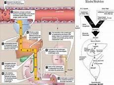 Pathophysiology Of Jaundice In Flow Chart Liver Cirrhosis Flow Chart Study Materials Concept Map