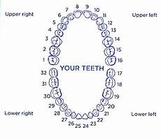 Tooth Number Chart Adults Tooth Numbers And Illustrations