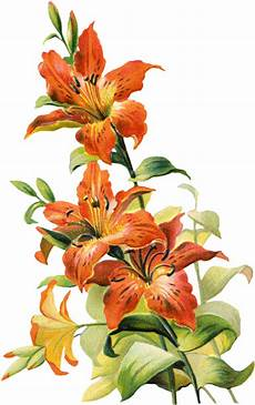 Tiger Lily Flower Designs Free Vintage Tiger Lily Flower