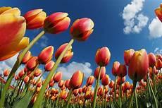 tulipani fiori tulipark a roma un giardino con pi 249 di trecentomila tulipani
