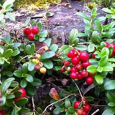 Bear Berry What Are Bearberries And Why Are They Good For Your Skin