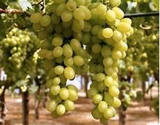 uva da tavola uva da tavola rossa o nera giordano vini