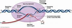 Transcription Biology Transcription In Prokaryotes