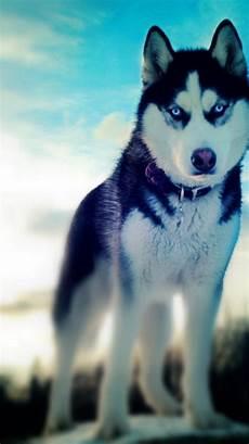 husky iphone wallpaper siberian husky dogs winter wallpaper 88777
