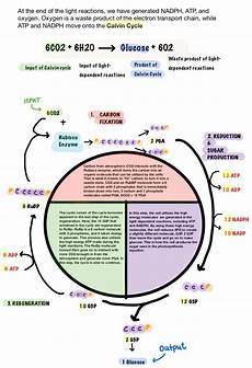 Does The Calvin Cycle Require Light Calvin Cycle Dark Reaction Expii