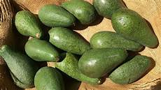 Different Types Of Avocado 15 Different Types Of Avocados Out There You May Not Know