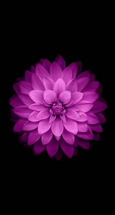 Iphone Wallpaper Original Flower all the ios 8 wallpapers for iphone and