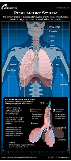 Respiratory Disease Fact Chart Quizlet Diagram Of The Human Respiratory System Infographic
