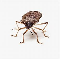Brown Marmorated Stink Bug Brown Marmorated Stink Bug Facts Amp Information Terro 174