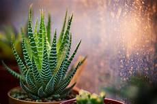 pianta grassa da interno piante grasse da appartamento il verde