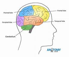 Cerebellum Anatomy Cerebellum Anatomy Structure Function Pictures Diagrams