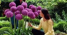 fiori a palla viola tutti i nomi dei fiori bulbi nomi fiori