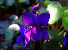 fiori a palla viola fiore viola piante annuali la viola