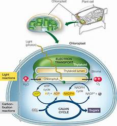 Does The Calvin Cycle Require Light Hillis2e Ch06