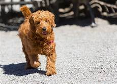 Goldendoodle Food Chart 12 Facts About The Goldendoodle