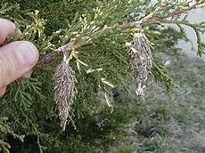 How To Treat Bagworms Bagworms Eternally Green Lawn Care
