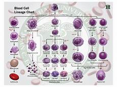 White Blood Cell Chart Quot Blood Cell Lineage Chart Quot By David Kendall