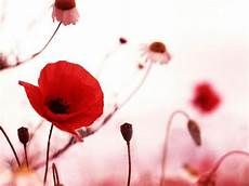 best flower desktop wallpaper wallpapers poppy flowers desktop wallpapers
