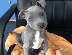 Designer Pitbulls Cost Newborn Red Nose Pitbull Puppies Goldenacresdogs Com