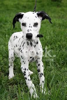 Dollmansion Designs Dalmatian Puppy Stock Photos Freeimages Com
