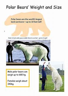 polar size chart polar bear fact find resources non chronological reports